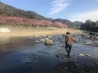 桜,ピンク,綺麗,川,お花見,日本,伊豆,河津桜,河辺,河津