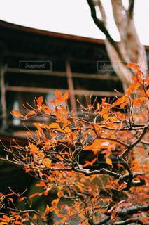 近くにオレンジの木のアップの写真・画像素材[875517]