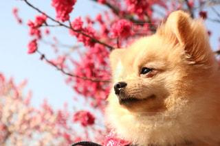 茶色と白犬の写真・画像素材[843475]