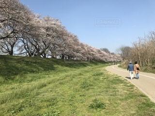 花,桜,屋外,樹木