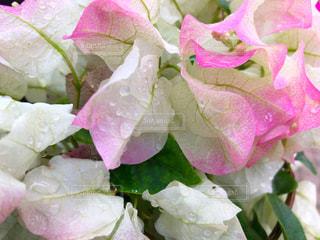 ピンクの花のクローズアップの写真・画像素材[2123232]
