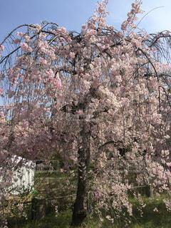 春,吉田,桜 春 ピンク
