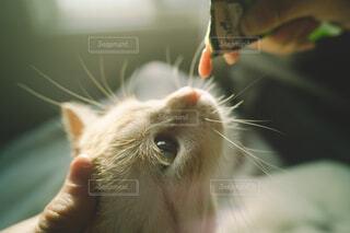 なでられながらおやつを食べる猫の写真・画像素材[4260539]