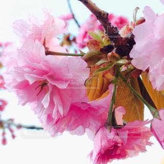八重桜の写真・画像素材[1802672]
