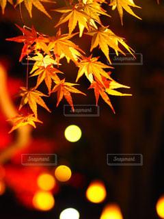 紅葉の夜の写真・画像素材[880527]