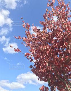 青空と紅葉の写真・画像素材[858805]