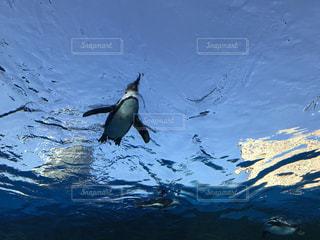 雪の中のペンギンの写真・画像素材[1106604]