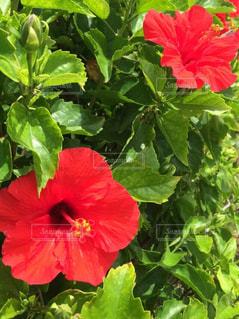 緑の葉と赤い花の写真・画像素材[916918]