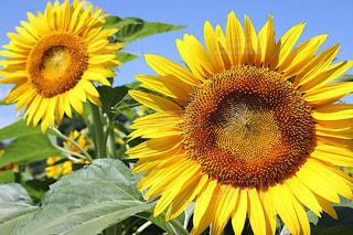 夏,カメラ,ひまわり,黄色,鮮やか,向日葵,広島