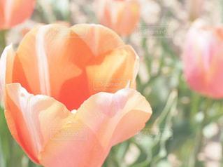 風景,花,チューリップ,オレンジ,お花見,広島