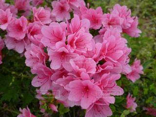 ピンクの花。の写真・画像素材[853993]