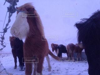 アイスランド馬の微笑みの写真・画像素材[829959]