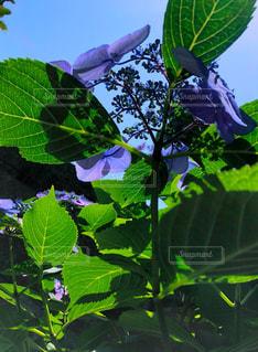 空,花,屋外,緑,植物,葉,影,紫陽花