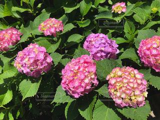 花,屋外,ピンク,緑,植物,紫,葉,紫陽花