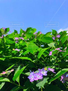 空,花,屋外,緑,植物,紫,葉,紫陽花,飛行機雲