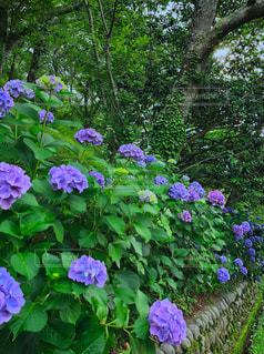 公園,花,屋外,緑,植物,紫,葉,樹木,紫陽花,石垣,ツタ