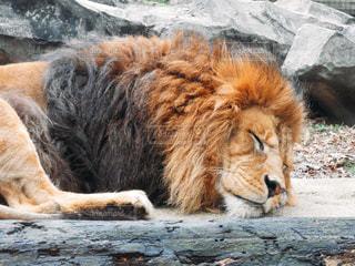 土の中に横たわるライオン - No.890699