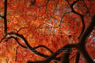 空,秋,紅葉,木,植物,赤,葉,もみじ,オレンジ,秋空
