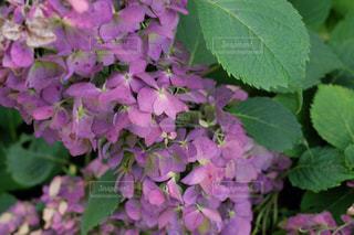 紫陽花の秋の写真・画像素材[880144]