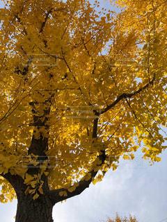 銀杏の木の写真・画像素材[889196]