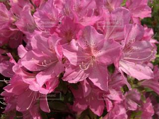 ツツジ 春 花 綺麗 鮮明 可愛い 花壇 ピンク