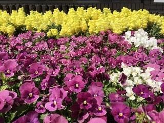 パンジー 金魚草 花 春 花壇 綺麗 可愛い