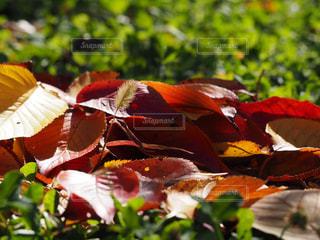 落ち葉の写真・画像素材[1628075]