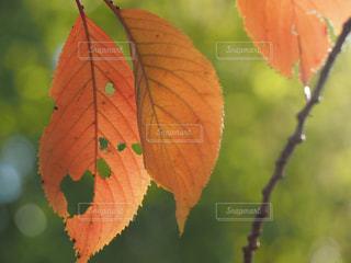枯れ葉の写真・画像素材[1635541]