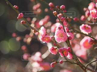 梅の写真・画像素材[1803506]