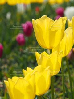 公園,花,春,綺麗,黄色,チューリップ,鮮やか,花壇