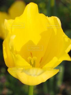 公園,花,綺麗,黄色,チューリップ,鮮やか,可愛い,花壇,鮮明