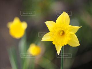 公園,花,春,綺麗,黄色,可愛い,水仙,花壇,草木,ラッパ水仙