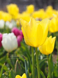 公園,花,春,綺麗,黄色,チューリップ,可愛い,花壇,草木