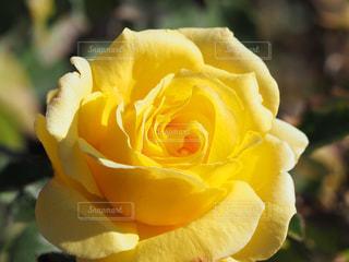 風景,公園,花,春,黄色,バラ,花壇,トゲ,草木