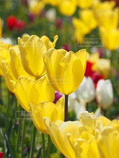公園,花,春,綺麗,黄色,チューリップ,鮮やか,光,花壇,鮮明