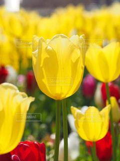 公園,花,春,綺麗,黄色,チューリップ,鮮やか,花壇,咲いた咲いた