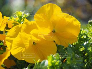 公園,花,綺麗,黄色,鮮やか,可愛い,花壇,パンジー,ビオラ