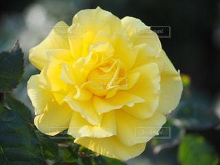 公園,花,春,綺麗,黄色,バラ,鮮やか,花壇,鮮明,棘,草木,情熱的