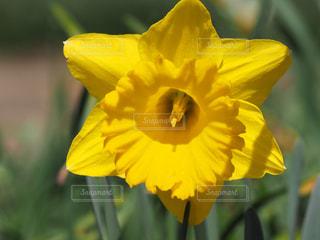 公園,花,春,綺麗,黄色,鮮やか,可愛い,水仙,花壇,鮮明,ラッパ水仙