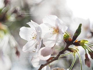 桜の写真・画像素材[1964122]