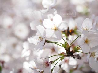 桜の写真・画像素材[2023428]