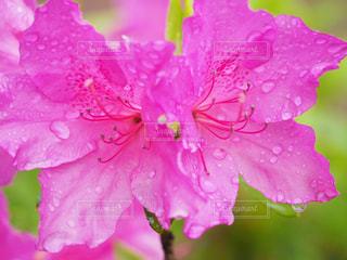 雨上がりの朝    ツツジの写真・画像素材[2109679]