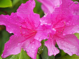 自然,花,ピンク,綺麗,鮮やか,可愛い,雨上がり,ツツジ,鮮明