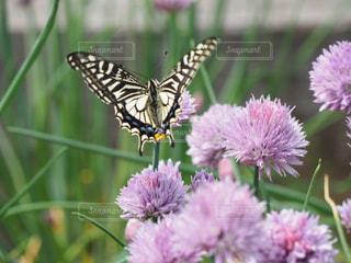 自然,花,屋外,植物,綺麗,後ろ姿,紫,癒し,ヒラヒラ,昆虫,ハーブ,蝶,舞う,チャイブ