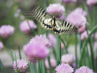花,後ろ姿,飛ぶ,鮮やか,ヒラヒラ,昆虫,ハーブ,蝶,舞う,チャイブ,躍動的