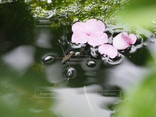 水たまりの中にアメンボと花びらの写真・画像素材[2251619]