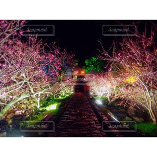 桜,沖縄,ライトアップ,旅行,桜祭り,今帰仁