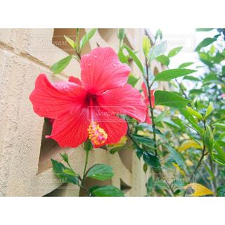 花,ハイビスカス,沖縄,旅行
