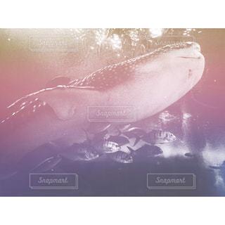 魚,水族館,沖縄,旅行,サメ,美ら海水族館,ジンベエザメ