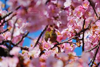 花,桜,フラワー,野鳥,メジロ,河津桜,さくら,日本平